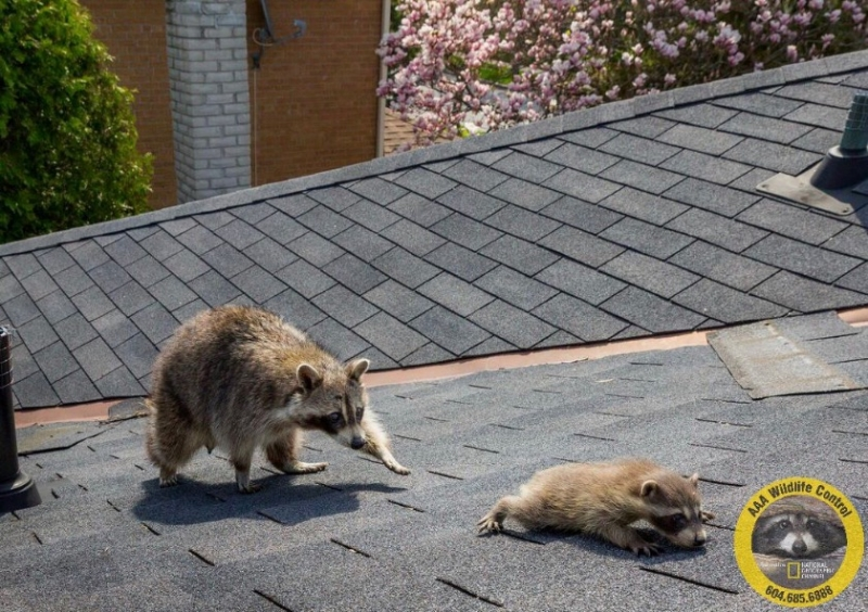 A mother raccoon retrieves her baby
