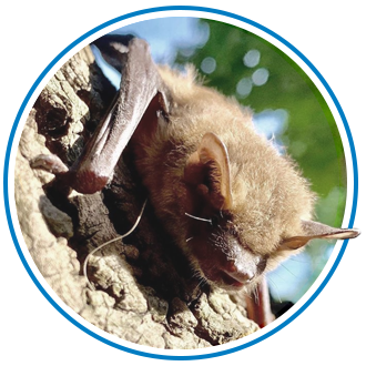 bat removal in white-rock