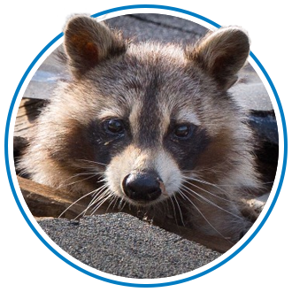 raccoon removal in north-delta