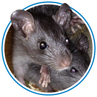 rat removal in pitt-meadows