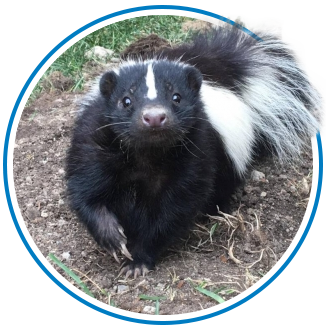 skunk removal in white-rock